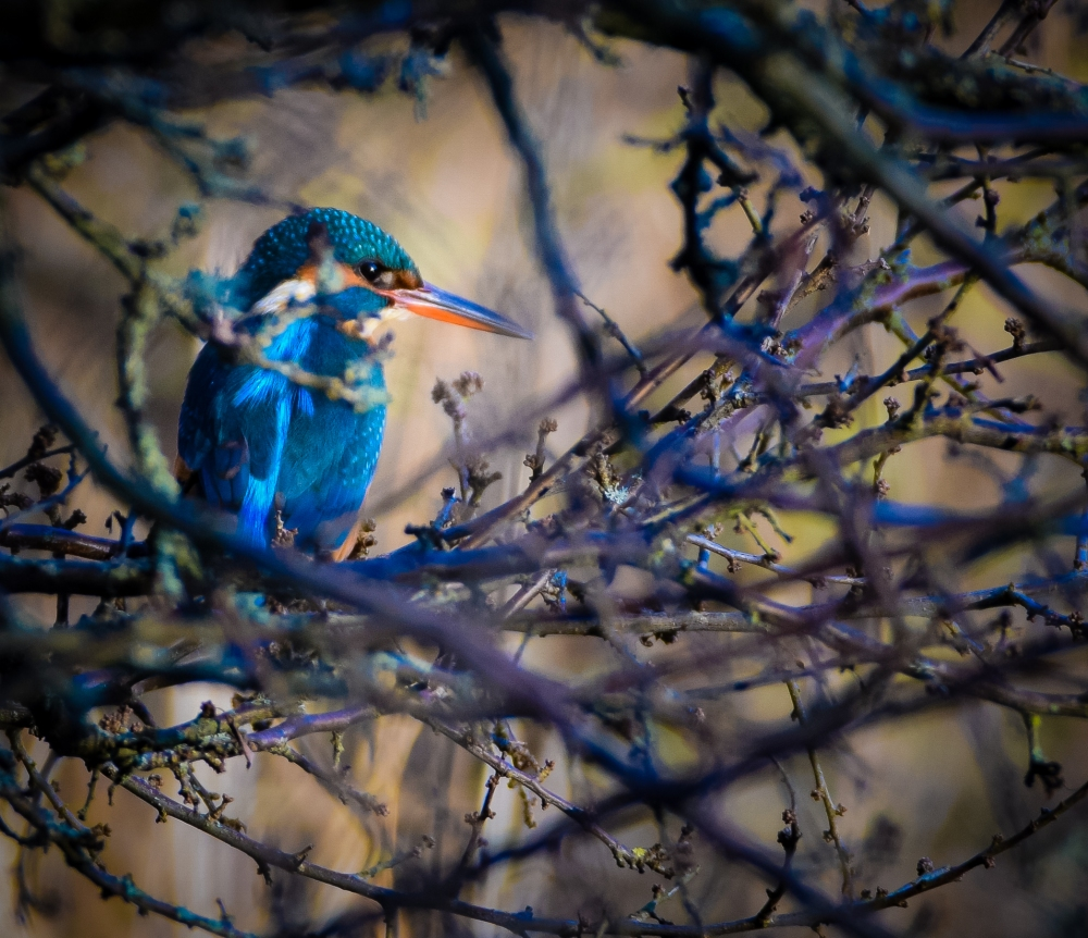 kingfisher-in-tree-1-of-1