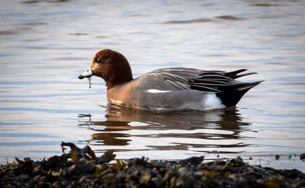 wigeon-1-of-1