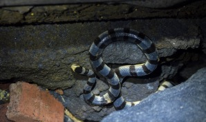Yellow Lipped Sea Krait (Laticauda colubrina)