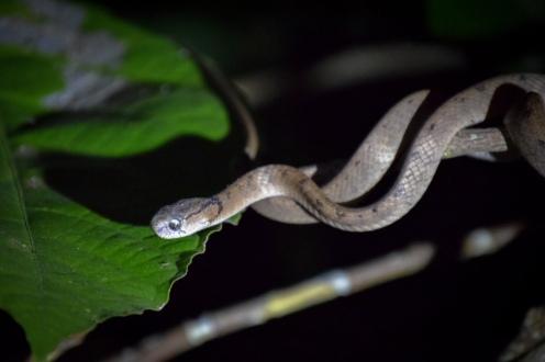 Keeled Slug Eating Snake (Pareas carinatus)