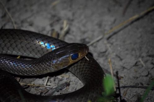 Rat snake (Ptyas korros)