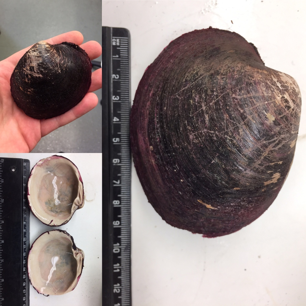 The shell of the ocean quahog clam (Arctica islandica) showing its dark periostracum, next to a ruler for size comparison