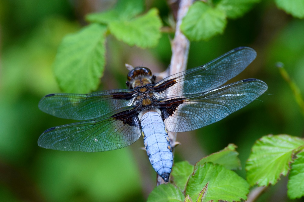 Male broad bodied chaser dragonfly clearly showing its blue abdomen and dark wing spots