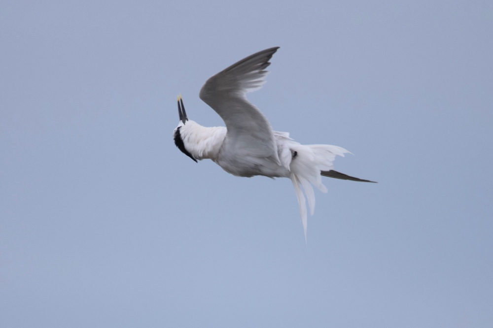 Sandwich Tern (Thalasseus sandvicensis) at Cemlyn Bay, Anglesey