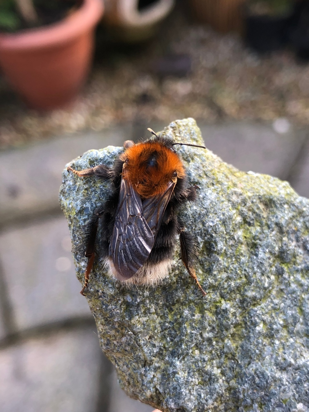 A queen tree bumblebee (Bombus hypnorum) showing distinctive ginger thorax, black abdomen and white tail
